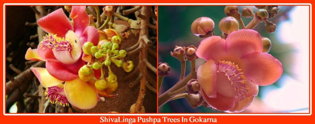 Shivalinga Pushpa In Gokarna